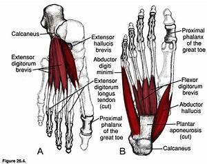 Muscles Of Leg And Foot