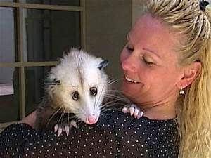 Vet tech's pet possum turns heads - Video on NBCNews.com