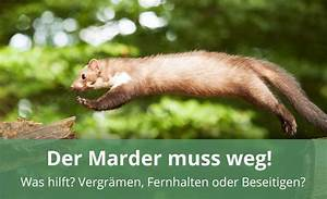 Marder Vom Auto Fernhalten : den marder vergr men fernhalten oder beseitigen alles wissenswerte ~ Frokenaadalensverden.com Haus und Dekorationen