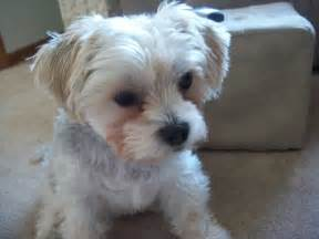 Morkie Dogs 1 Year Old