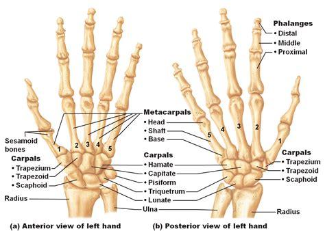 Medical Freak The Skeleton Upper Limb