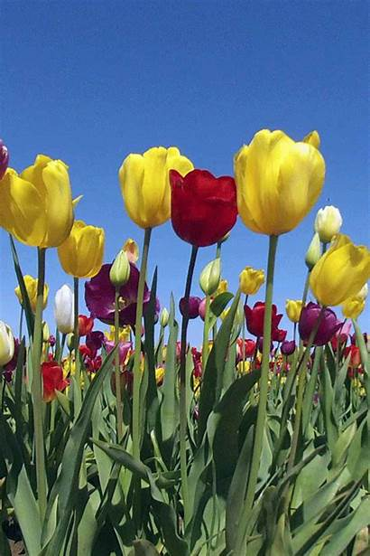 Flowers Animated Gifs Tulips Bestanimations Flower Nature
