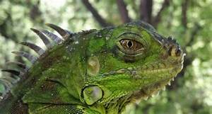Environment warns: don't acquire the invasive green iguana