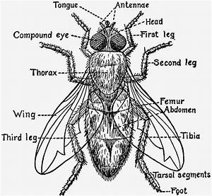 Fly Anatomy