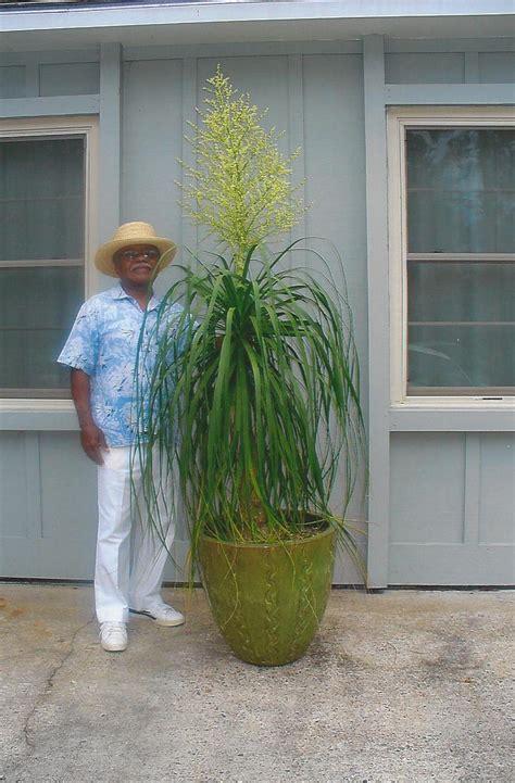 ponytail palms bloom  savannah news savannah morning