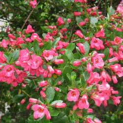 Dwarf Evergreen Flowering Shrubs