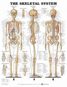 Skeletal System Poster  66x51cm  Anatomical Chart Human