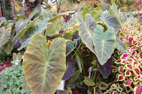 when to dig up elephant ear bulbs purdue yard and garden