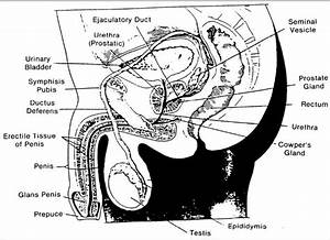Reproductive Anatomy And Physiology  The Male Reproductive