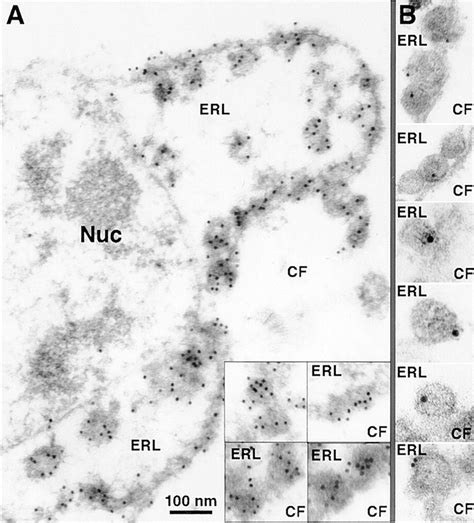 A Positive-strand Rna Virus Replication Complex Parallels