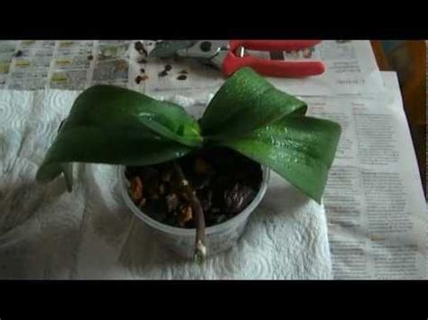 orchideen schneiden quot orchideen richtig umtopfen schneiden quot 2 2