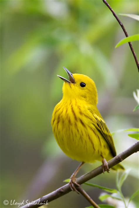 the yellow warbler beautiful bird the wildlife