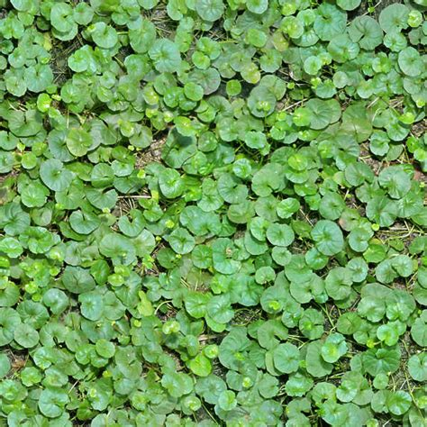 seamless ground texture plants textures groundcover brown nature groundplants background preview
