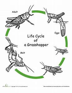 Color the Life Cycle: Grasshopper | Worksheets, Cycling ...