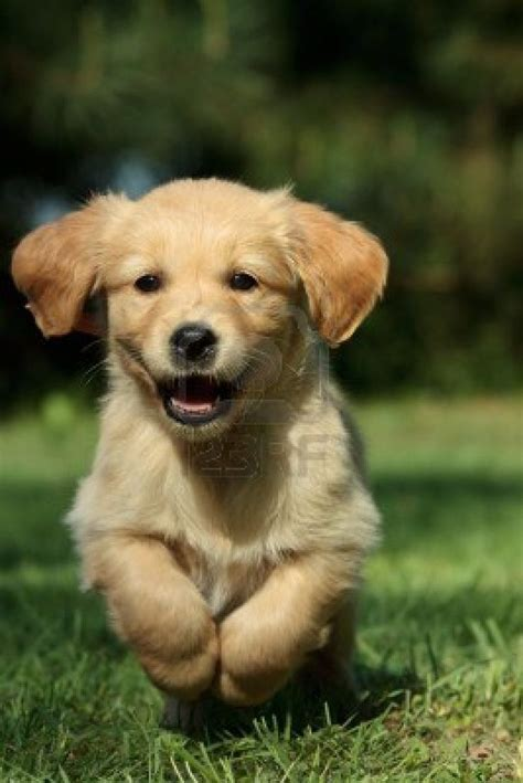 Tips For Finding A Certified Breeder For Golden Retrievers