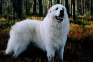 Great Pyrenees Mix Dogs