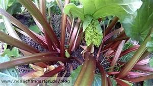 Rhabarber Ernten Im Herbst : rhabarber vom anfang bis zum ende oder wenn der zu wachsen beginnt geht dem winter die puste ~ Orissabook.com Haus und Dekorationen