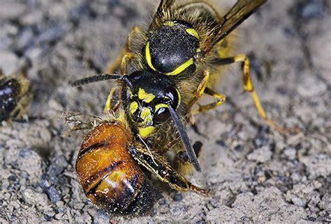 ameisen im bienenhaus wespen im bienenhaus bek 228 mpfen wie k 246 nnen die bienen vor angriffen auf ihren bienenstock