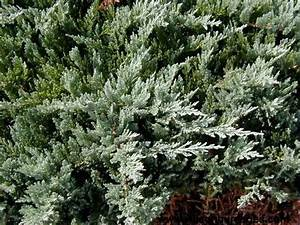 Blue Chip Spreading Juniper | Wilson Nurseries