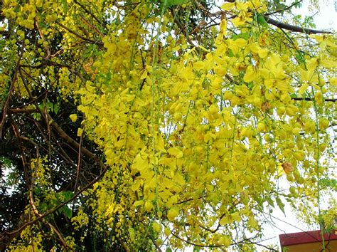 tree with yellow flowers the urban gardener summer sherbet mumbai s flowering trees