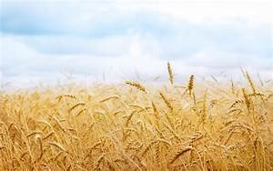 Wheat field landscape picture Wallpapers - HD Wallpapers 79618