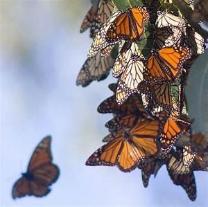 Monarch Butterflies preparing for hibernation   The little ...