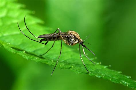 images for mosquito genetically modified mosquitoes battle dengue fever scientific india magazine