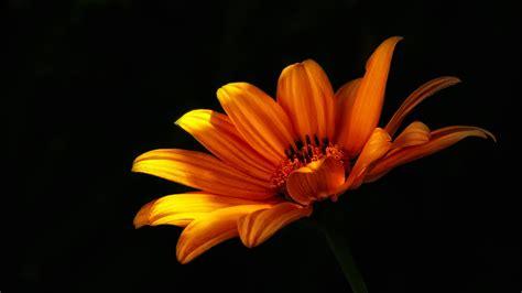 Black And Orange Flower Wallpaper by Free Images Nature Sunlight Leaf Petal Orange Color
