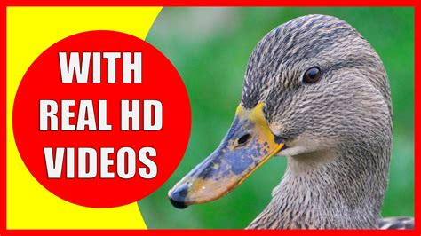 duck facts duck facts for kids information about ducks kiddopedia