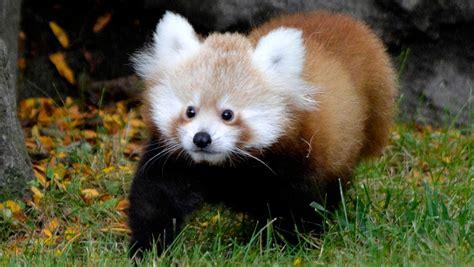Baby Red Panda Makes Debut At Detroit Zoo