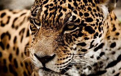 Wild Cat Wallpapers Jaguar