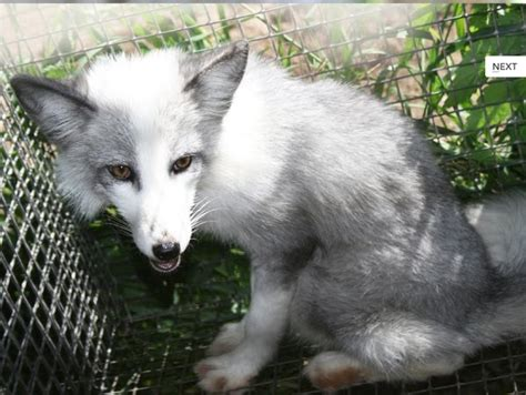domesticated fox domesticated silver fox damn cool pictures