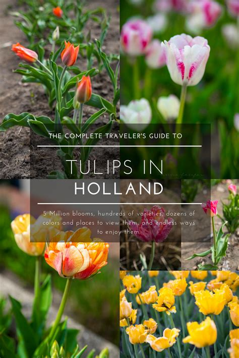 explore  tulips  hollands tulip time festival