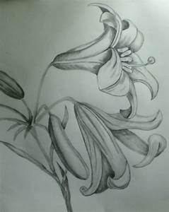 Lily Pencil Drawings
