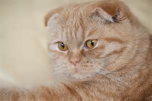 fold cat scottish fold cat wallpapers and images
