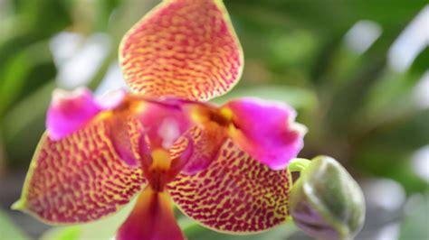how to get phalaenopsis to bloom phalaenopsis species in bloom may 2017 youtube