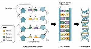If You Have A Strand Of Dna In Which 20  Of The Bases Are