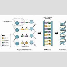 Dna Structure Bioninja
