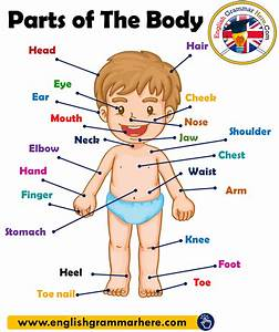 Parts Of The Body In English  Parts Of Human Body