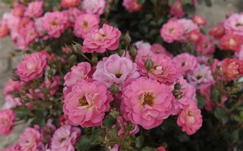 mehltau an hortensien mehltau an hortensien die gr ne kamera bildarchiv die