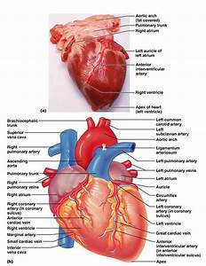 Animal Heart Diagram Labeled