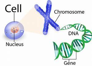 Dna  Genes    Chromosomes On Emaze
