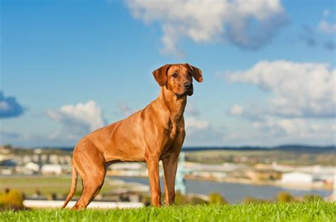 Rhodesian Ridgeback Excessive Shedding by Top 8 Breeds That Shed The Least