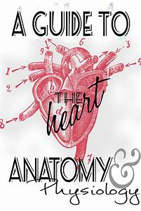 Anatomy And Physiology  Heart Study Guide Information