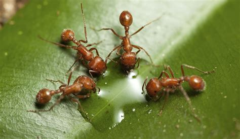 fun facts  fire ants