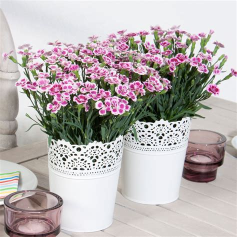 Nelken Für Balkonkästen by Nelken Pink Kisses 174 Kaufen Bei Ahrens Sieberz