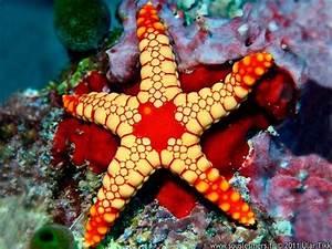 Etoile De Mer Dofus : une belle toile de mer patterns pinterest ~ Medecine-chirurgie-esthetiques.com Avis de Voitures