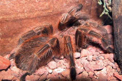 chilean rose haired tarantula utahs hogle zoo