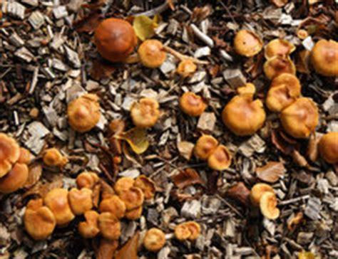 Pilze Im Rasen Was Kann Ich Dagegen Tun by Braune Pilze Im Rasen Das K 246 Nnen Sie Dagegen Unternehmen