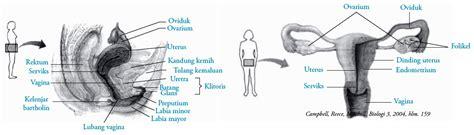 Wanita Mengandung 5 Bulan Organ Alat Reproduksi Dalam Pada Wanita Struktur Dan